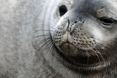 De Verbinding van Weddel Stock Foto