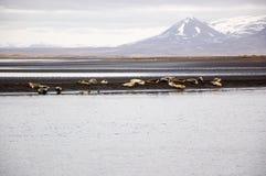 De verbindingen zonnebaden, zwart zandstrand, Hvitserkur, IJsland Stock Afbeelding