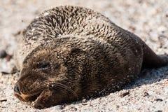 De Verbindingswelp van de Galapagos op strand royalty-vrije stock afbeeldingen