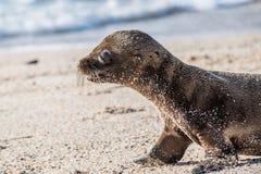 De Verbindingswelp van de Galapagos op strand stock foto's
