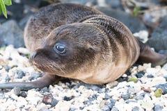 De Verbindingswelp van de Galapagos op strand royalty-vrije stock foto
