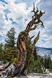 De verdraaide Boomstam van de Pijnboomboom in Yosemite Stock Foto's