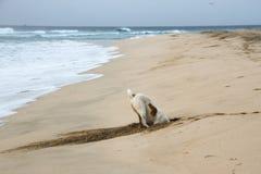 De verdwaalde hond in een gat graaft voor krabben op het strand Stock Afbeelding
