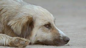 De verdwaalde hond ligt op de langzame geanimeerde video van de grondsnuit stock video
