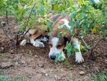 De verdwaalde hond is vermoeid en slaap onder roze struiken in Thessaloniki, Griekenland royalty-vrije stock foto's