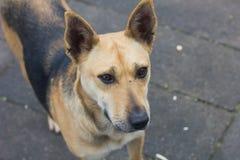 De verdwaalde honden op droevige straat zien eruit Royalty-vrije Stock Afbeeldingen