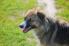 De verdwaalde honden op straat maakt vrees Stock Afbeelding