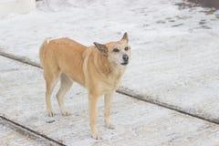 De verdwaalde honden op straat maakt vrees Stock Foto