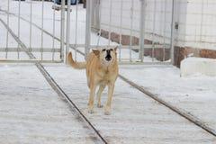 De verdwaalde honden op straat maakt vrees Royalty-vrije Stock Foto