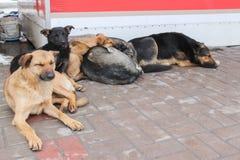 De verdwaalde honden op straat maakt vrees Stock Foto's