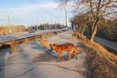 De verdwaalde honden op straat maakt vreesmensen Royalty-vrije Stock Foto's