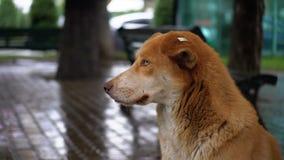 De verdwaalde Rode Hond zit op een Stadsstraat in Regen tegen de Achtergrond van het Overgaan van Auto's en Mensen stock footage