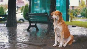 De verdwaalde Rode Hond zit op een Stadsstraat in Regen tegen de Achtergrond van het Overgaan van Auto's en Mensen stock video