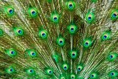 De veren die van de pauw het frame vullen Stock Foto