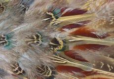 De veren van de fazant Stock Foto