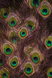 De veren van de pauw stock afbeelding