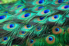 De veren van de pauw stock fotografie