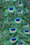 De veren van de pauw Royalty-vrije Stock Foto's
