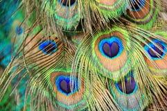 De veren van de pauw Stock Afbeeldingen
