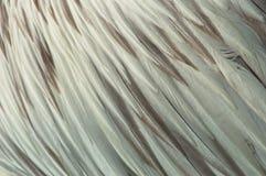 De Veren van de pelikaan Stock Fotografie