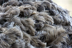 De Veren van de struisvogel Royalty-vrije Stock Fotografie