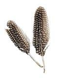 De veren van het parelhoen Royalty-vrije Stock Afbeeldingen