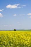 De verkrachtingsgebied van het oliezaad tijdens de zomer met blauwe hemel royalty-vrije stock afbeeldingen