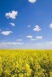 De verkrachtingsgebied van het oliezaad tijdens de zomer met blauwe hemel royalty-vrije stock fotografie