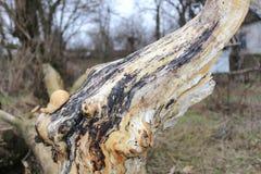 De verlaten tuin Gebrande boom Textuur nave Een ongebruikelijke boom stock fotografie