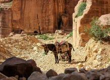 De vermoeide ezels rusten in Petra van de rotsstad royalty-vrije stock foto