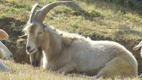 De vermoeide geit neemt een dutje op Groene Gebieden stock footage
