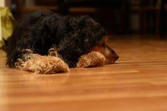 De vermoeide hond legt op een vloer Royalty-vrije Stock Afbeeldingen