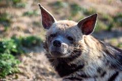 De vermoeide hyena onderzoekt de camera Fotoportret van een wild dier royalty-vrije stock foto
