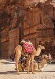 De vermoeide kamelen rusten in Petra van de rotsstad stock foto's