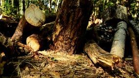 De vernietiging van bossen Doen ineenstorten bomen in bos 84 stock footage