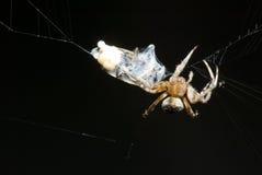 De verpakkende prooi van de spin in een cocon Royalty-vrije Stock Afbeelding