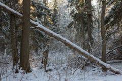 De verpakte blizzard van bomen sneeuw daarna Royalty-vrije Stock Foto