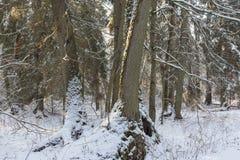 De verpakte blizzard van bomen sneeuw daarna Stock Afbeelding