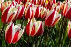 De Verrassing van de Tulipalente Stock Afbeeldingen