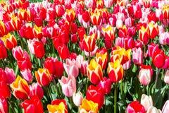 De Verrassing van de Tulipalente Stock Foto's
