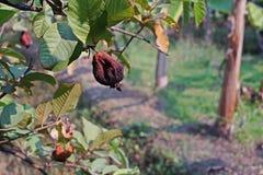 De verrotting van het guavefruit van fruitvliegteistering royalty-vrije stock afbeelding