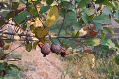 De verrotting van het guavefruit van fruitvliegteistering stock foto