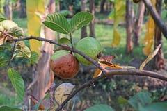 De verrotting van het guavefruit van fruitvliegteistering stock afbeelding