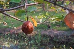 De verrotting van het guavefruit van fruitvliegteistering stock afbeeldingen