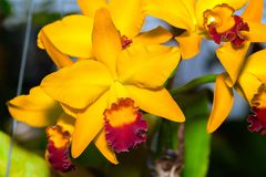 De Verrukkingsorchidee van Cattleyajomthong Stock Foto's