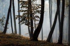 De verrukte herfst nevelig bos met kleurrijke boom stock afbeeldingen