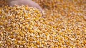 De vers geoogste korrels van het maïsgraan Landbouwachtergrond, graan het oogsten stock footage
