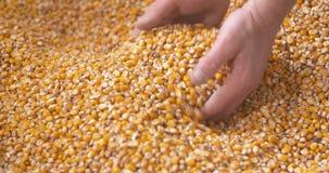 De vers geoogste korrels van het maïsgraan Landbouwachtergrond, graan het oogsten stock videobeelden