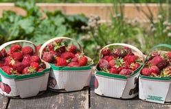 De vers Geplukte Aardbeien van het Gebied Royalty-vrije Stock Foto