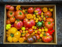 De vers geplukte oogst van de erfgoedtomaat: het peervormige, rundvleeshart, tigerella, brandywine, kers, zwarte bracht houten do stock fotografie